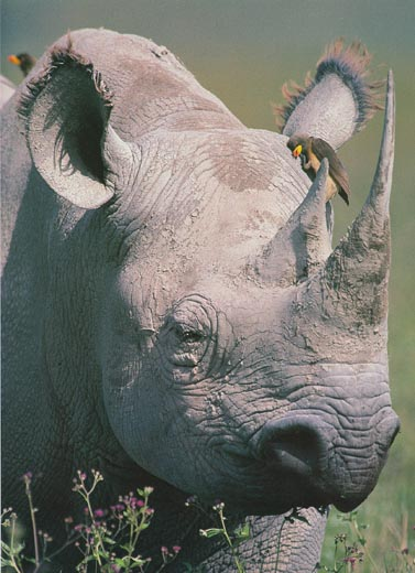 oxpecker bird and rhinoceros relationship goals